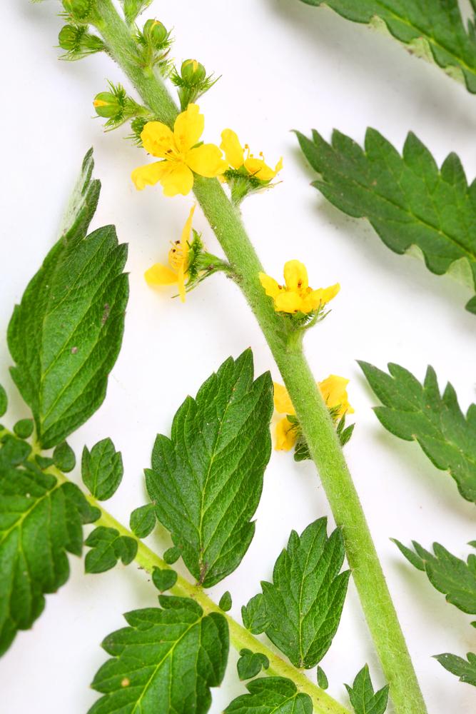Qu 39 est ce que le fleurs de bach 1 aigremoine - Nom de fleur en anglais ...