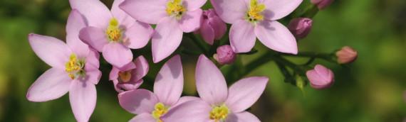 La fleur de Bach Centaury ou la centaurée