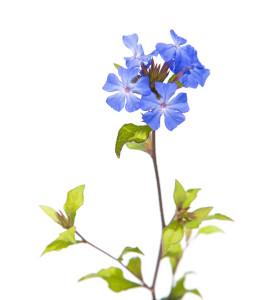 Fleur de Bach 05