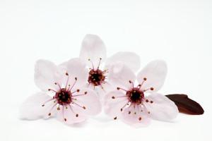 fleur de Bach 06