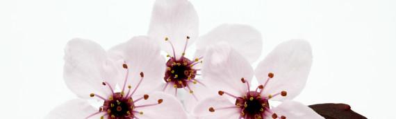 La fleur de Bach Cherry plum ou prunus