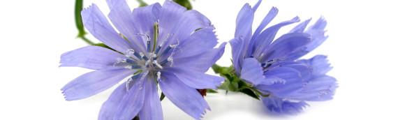 La fleur de Bach Chicory ou chicorée
