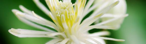 La fleur de Bach Clematis ou clématite