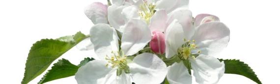 La fleur de Bach Crab apple ou pommier sauvage
