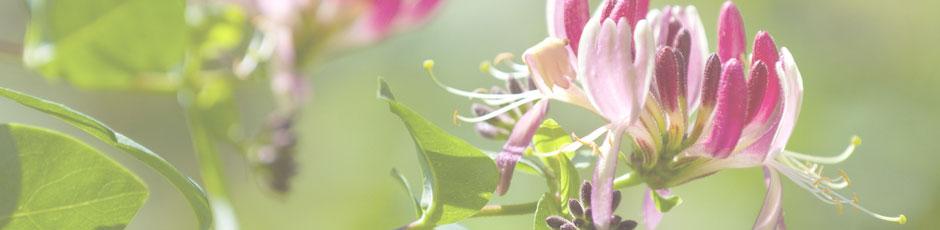 header-fleursdebach