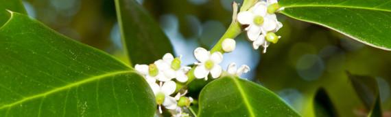 La fleur de Bach Holly ou houx
