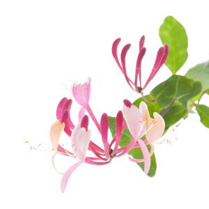 Fleurs de Bach 16