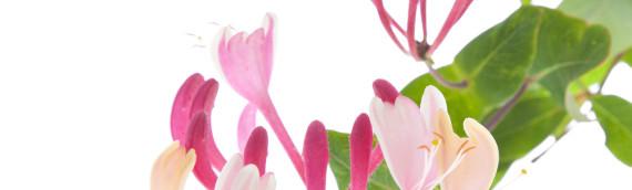 La fleur de Bach Honeysuckle ou chèvrefeuille