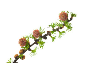 fleurs de Bach 17