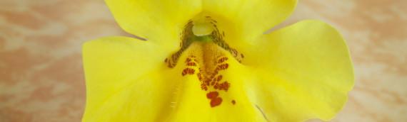 La fleur de Bach mimulus ou mimule