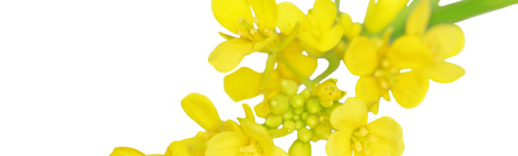 La fleur de Bach Mustard ou moutarde
