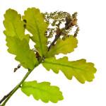 oak ou chêne