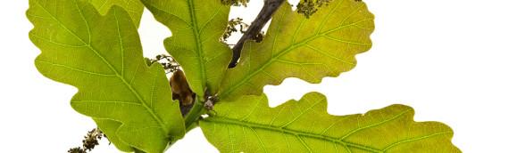 La fleur de Bach Oak ou chêne