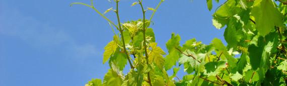 Quelles qualités thérapeutiques retrouve-t-on dans la fleur de Bach Vine?