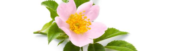 La fleur de Bach Wild rose ou églantier