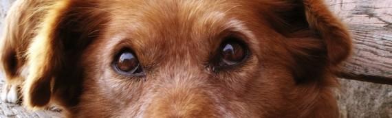 Peut-on donner des fleurs de Bach pour un chien ?
