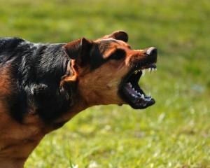 fleurs de Bach pour un chien agressif avec les autres chiens